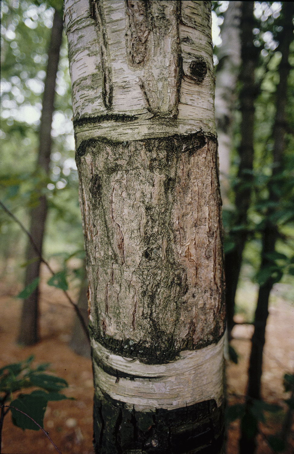 Tree - Walden Pond,1992