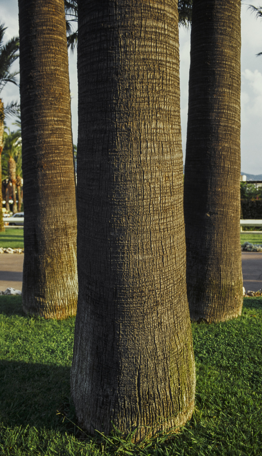 Tree Trunks - Cannes, 1996