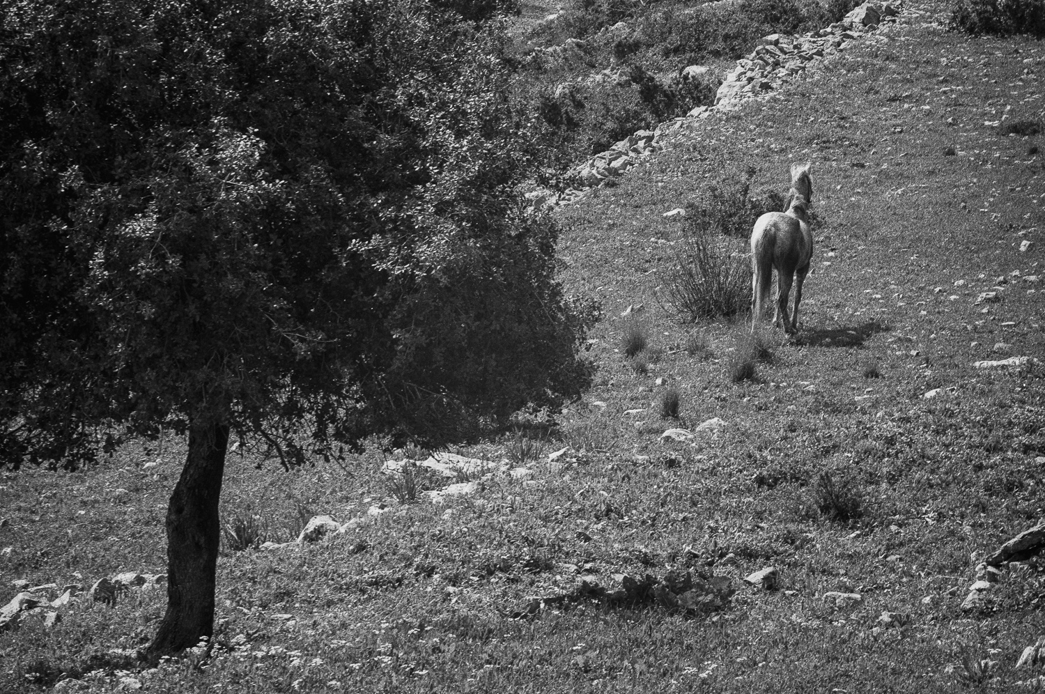 Tree and Horse - Carmel, 1976