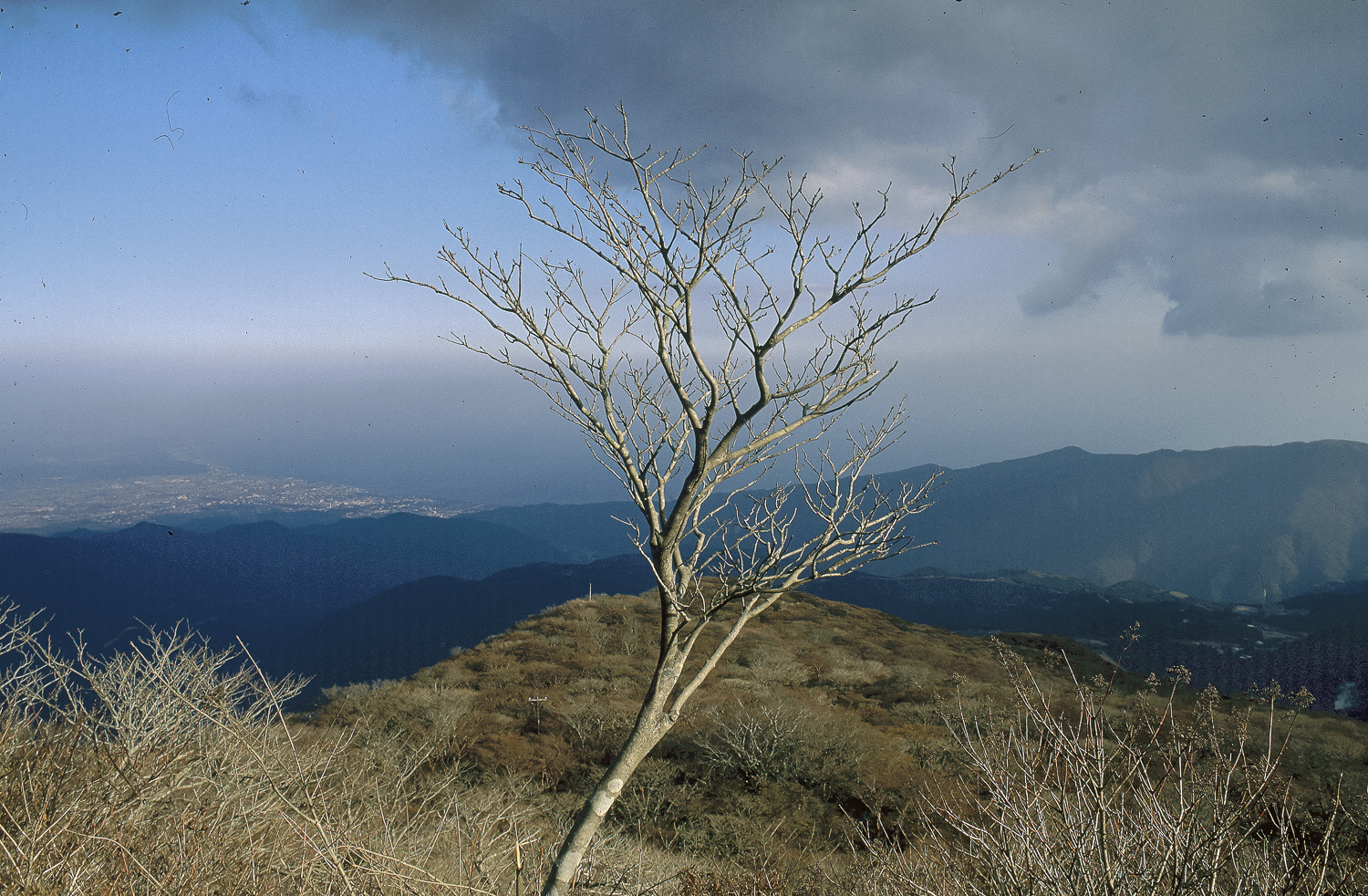 Tree - Hakone, 1995